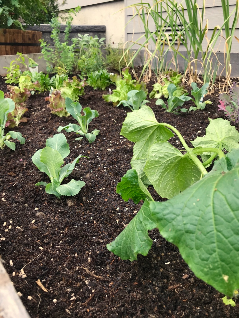 Photograph of vegetable starts recently planted in a raised planter bed.